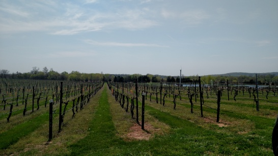 A vineyard in lush Virginia