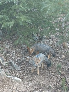 Wild foxes, SO close