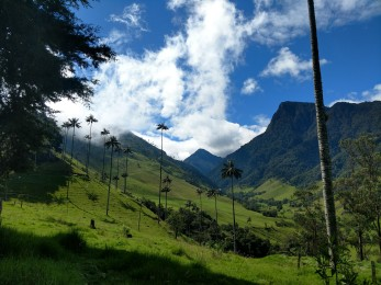 Wax palms in Cocora Valley