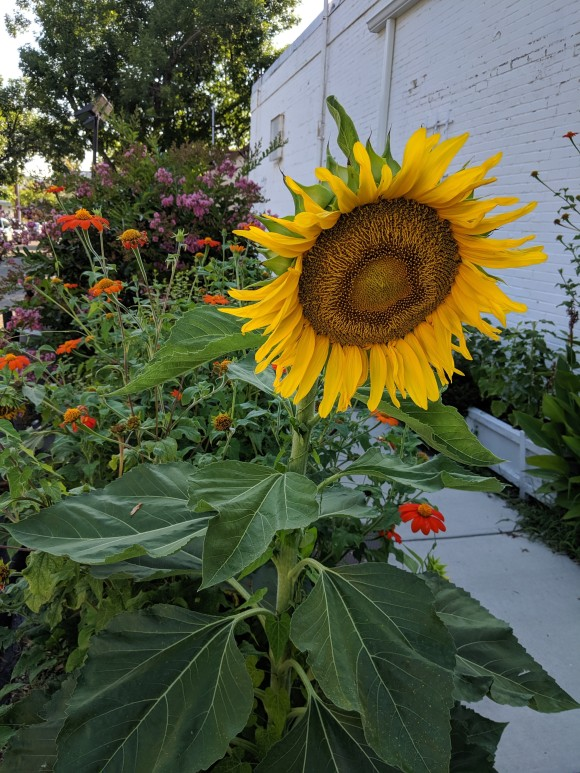 Sunflowers on King St