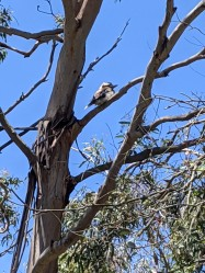 Kookaburra in his gum tree